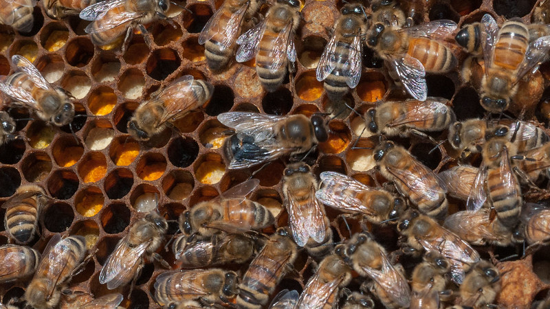 A queen bee surrounded by worker bees on a hive