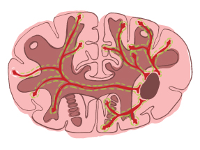 brain illustration 4