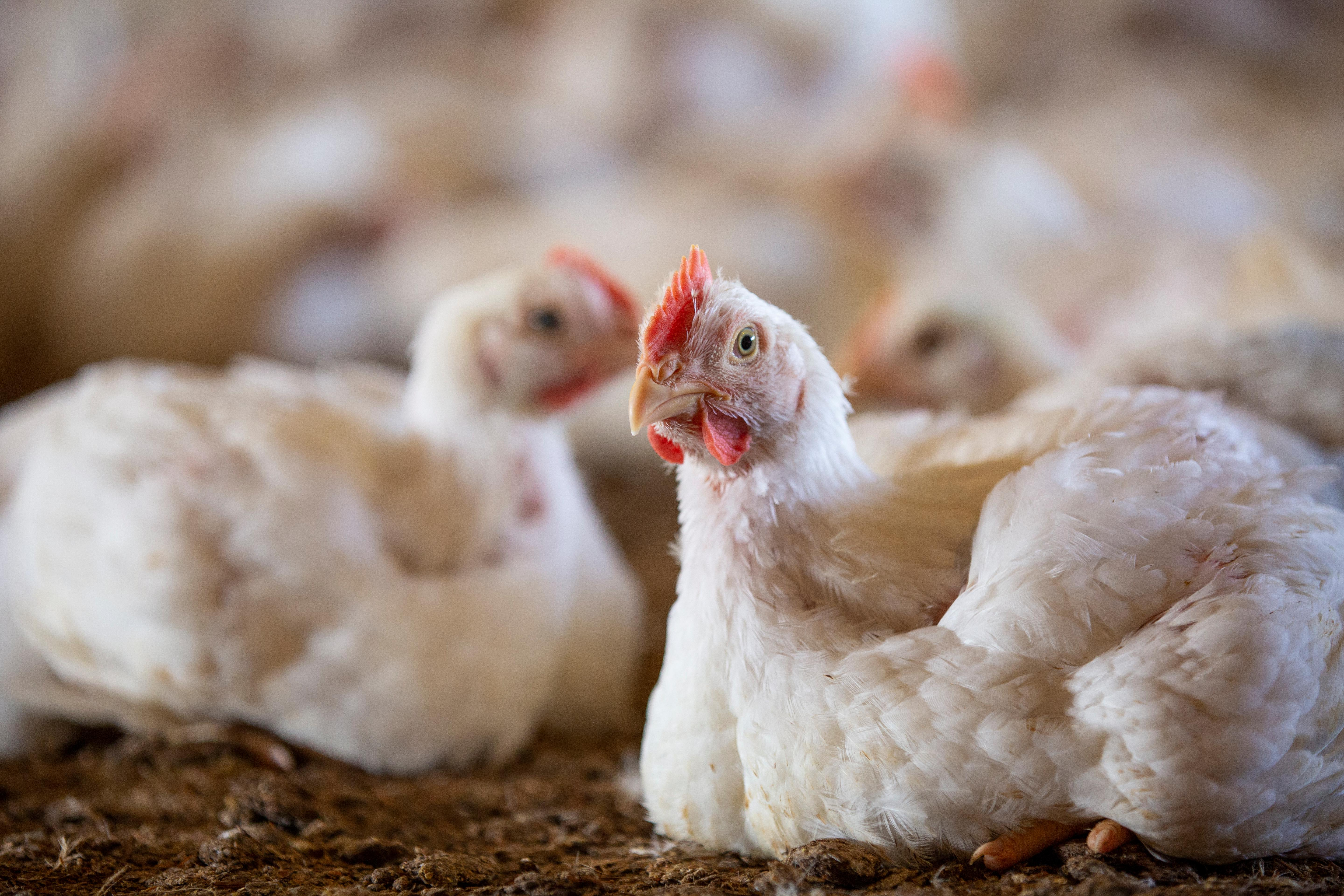 Two broiler chickens sit in broiler litter in focus, while a number of other chickens remain out of focus in the background.