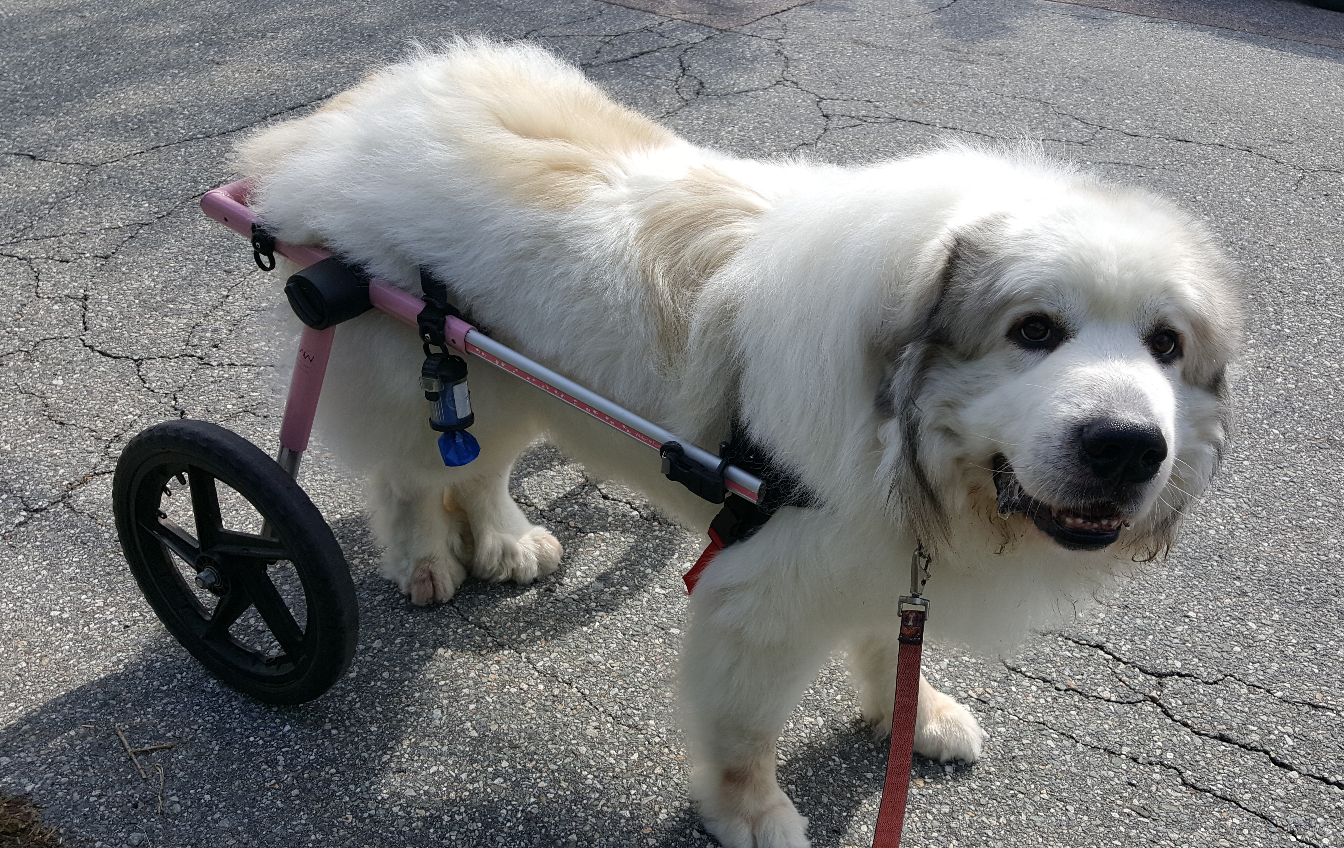 Great Pyrenees with wheelchair