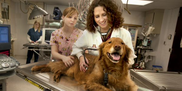 Veterinary examining golden retriever
