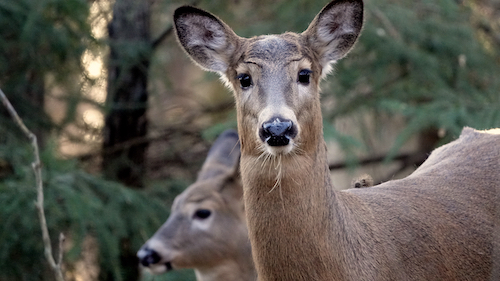 A doe looks at the camera in the foreground. A second doe eats grass in the background. They are both in the forrest.