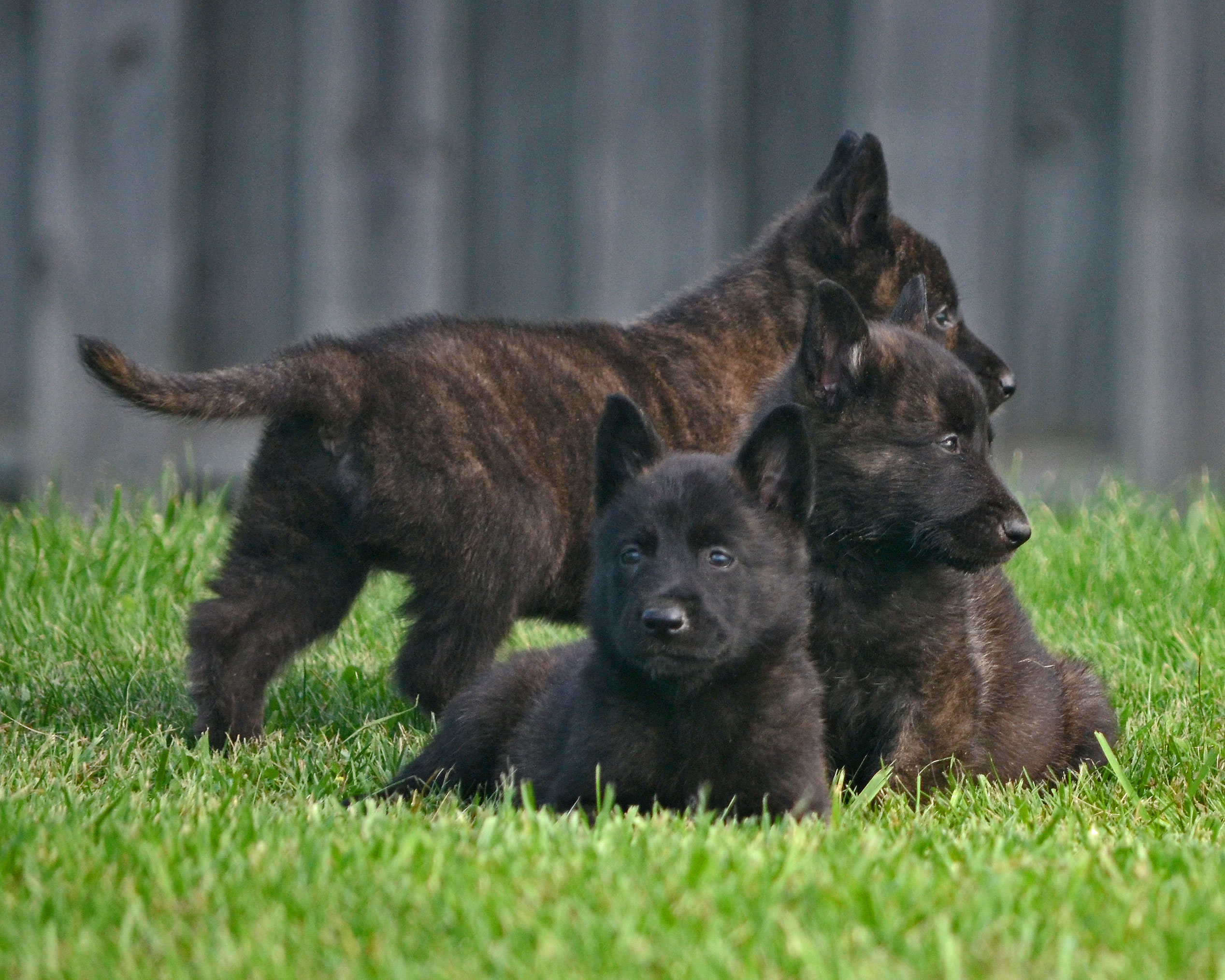 Dutch Shepherd Puppies