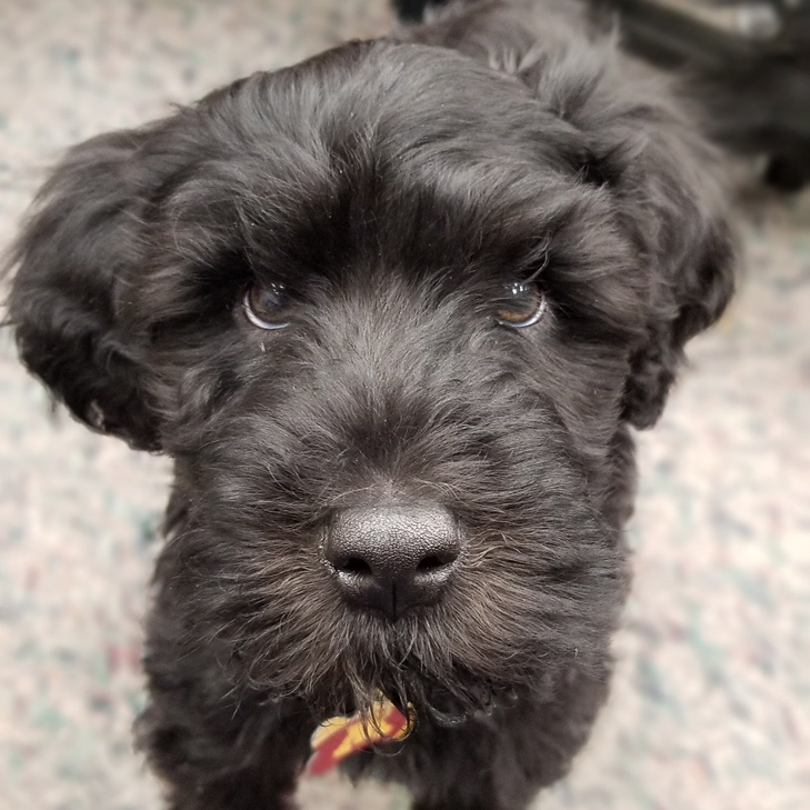 Portuguese Water Dog Puppy