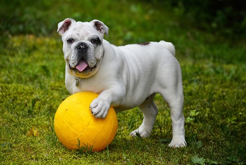 English bulldog with yellow ball