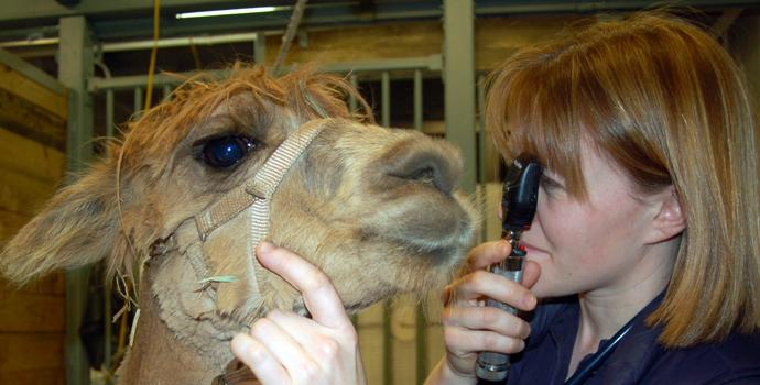 Llama being examined by a vet
