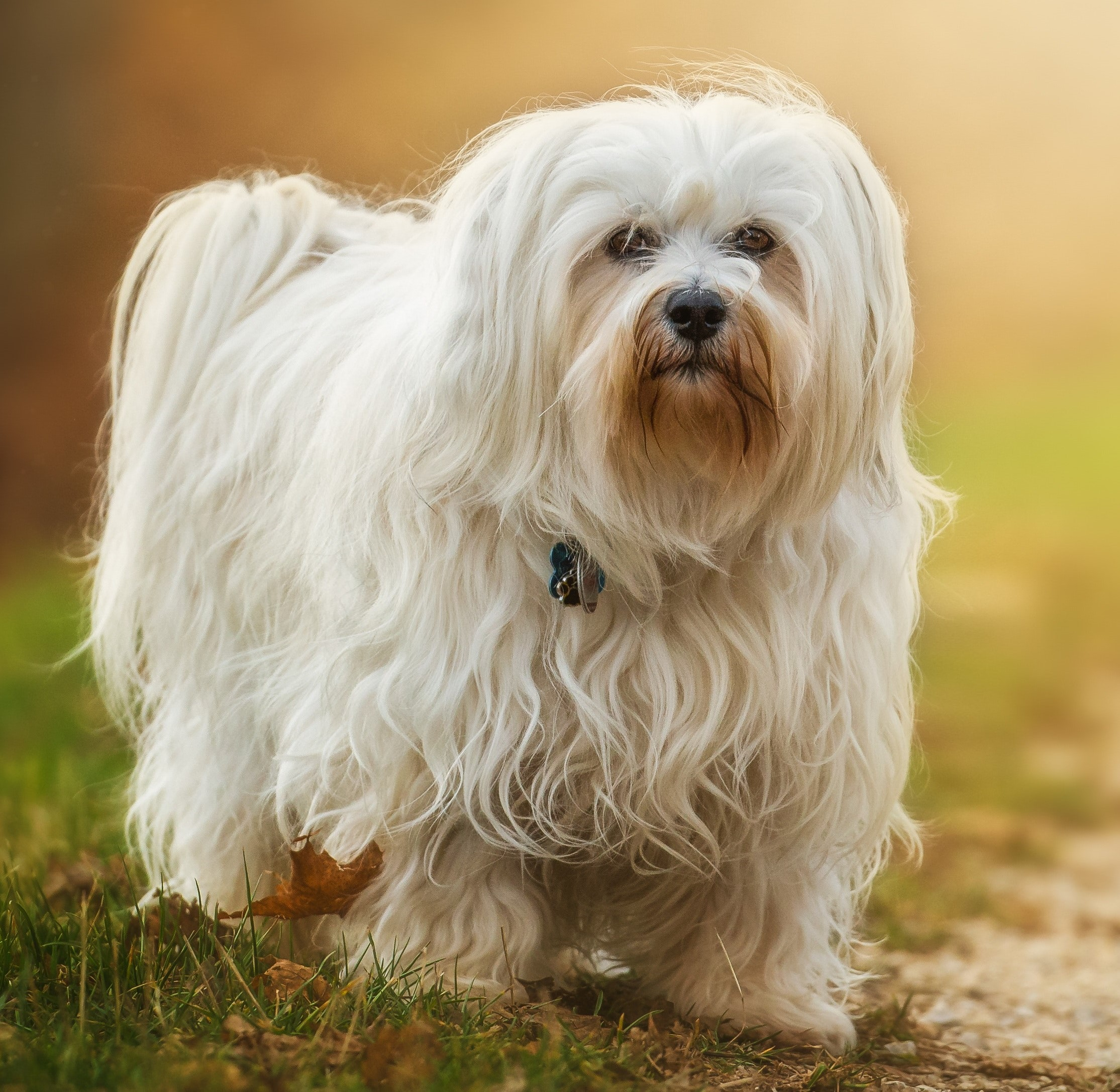 long haired white dog walking