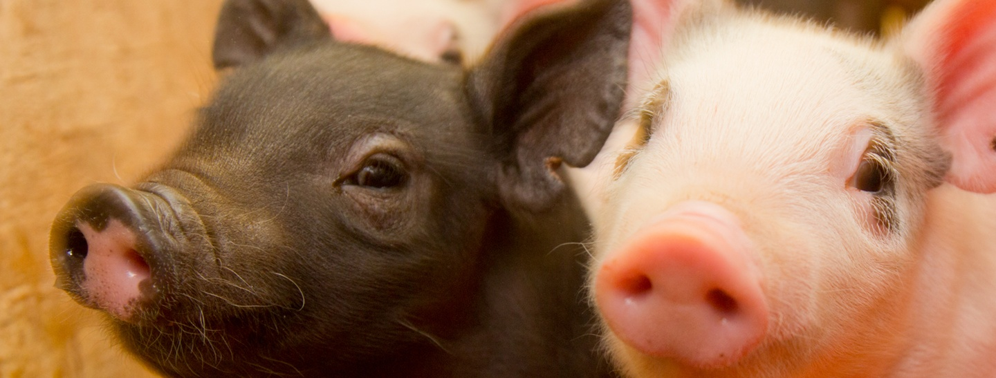 Close-up head shot of a black and pink baby piglets