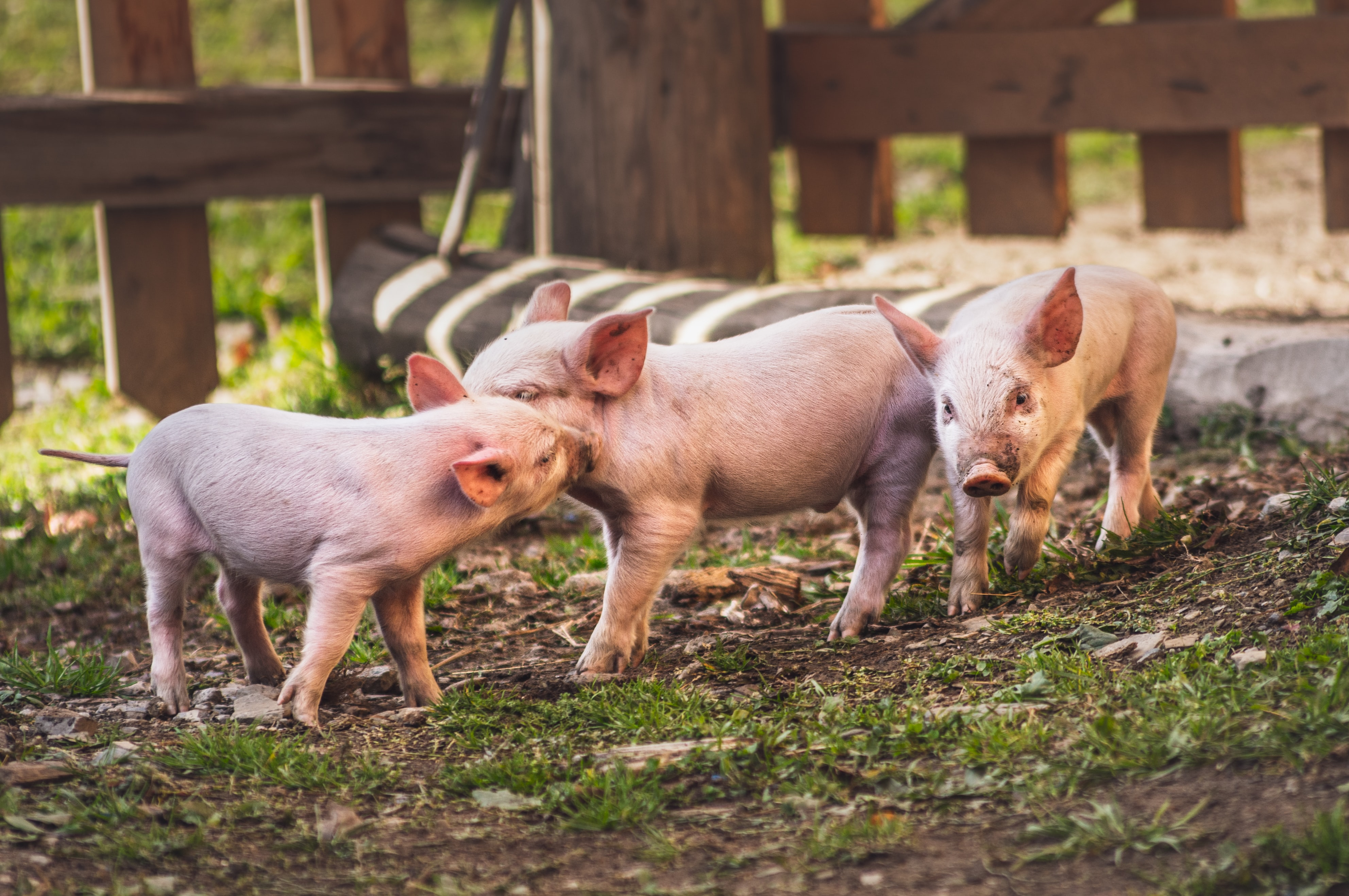 Three piglets play in a pen on a summer's day.