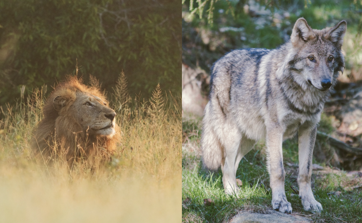 A lion lounges among tall grasses (left) and a wolf stands in the forest (right)