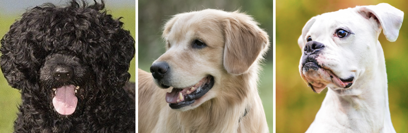 A Portuguese water dog, golden retreiver, and boxer each photographed side-by-side