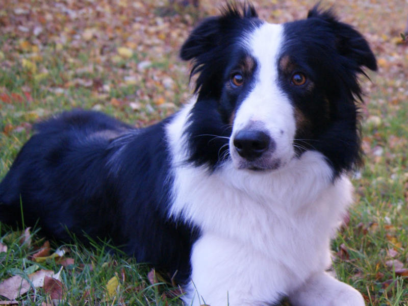 border collie laying in grass