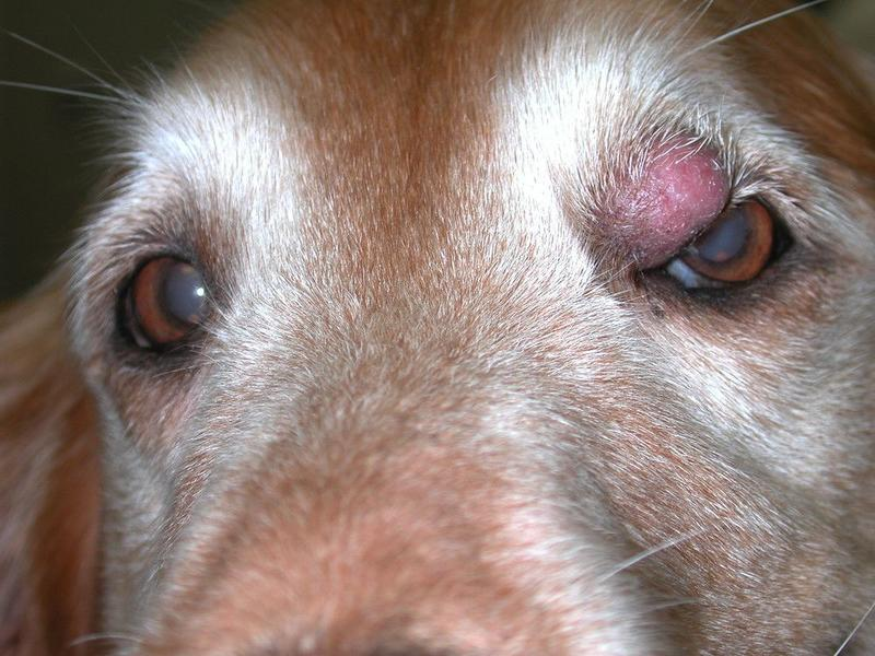 dog with mast cell tumor by eye
