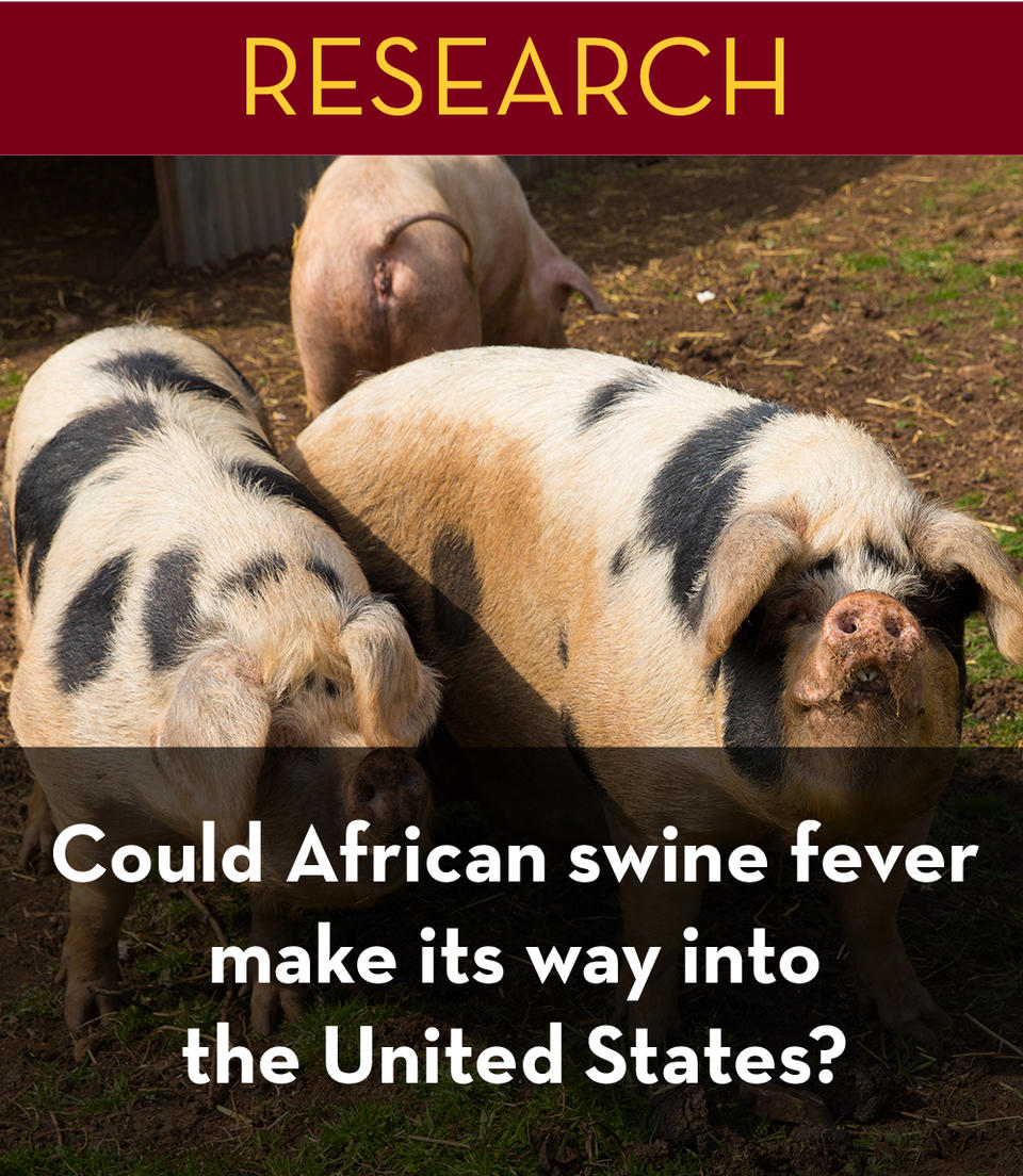 could_african_swine_fever_make_its_way_into_the_united_states