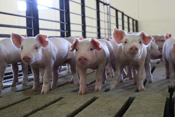 Piglets lined up in a pen